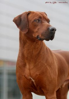 Rhodesian Ridgeback - A'Lucas Star Fox Grape | via DOGFORSHOW