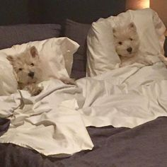 """""""We are ready for our bedtime story!"""" West Highland White Terriers"""