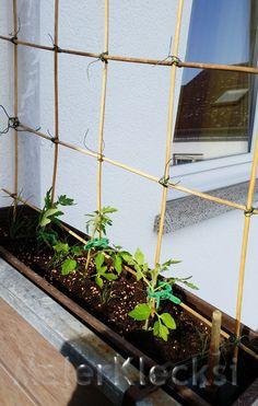 Ein einfaches Spalier für Tomaten im Blumenkasten.                                                                                                                                                                                 Mehr