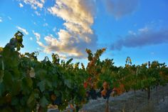 Glacier Estate Vineyard  We own a 5-acre estate vineyard in Zillah, Washington in the Yakima Valley planted to Riesling, Cabernet Sauvignon, Malbec and Carmenère.