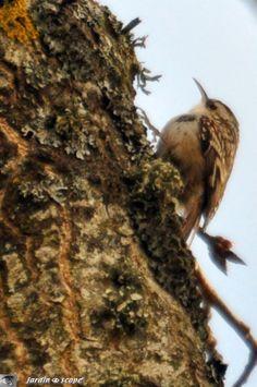 Le Grimpereau se confond avec l'écorce des arbres...