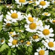 Tanacetum parthenium (Feverfew) Click image to learn more, add to your lists and get care advice reminders each month. Bachelor Buttons, Maid, Perennials, Landscape Design, Planting Flowers, Seeds, Zone 7, Bloom, Perennial