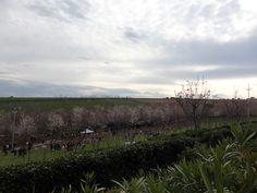 Vista dall'alto degli alberi di ciliegio - Contea dei Ciliegi, Marche Italia