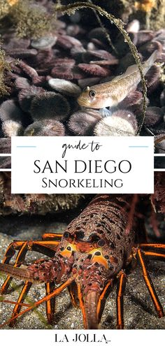 Your guide to San Diego snorkeling including tips from experts at Everyday California who spend their days leading snorkeling in La Jolla tours. La Jolla Beach, La Jolla Cove, San Diego Vacation, San Diego Travel, Leopard Shark, La Jolla Shores, Coronado Island, Best Snorkeling, Travel Expert