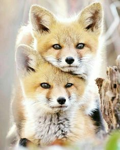 Beautiful ❤ fox kits animal kingdom, dogs and puppies, foxes, cute animals Cute Creatures, Beautiful Creatures, Animals Beautiful, Beautiful Cats, Nature Animals, Animals And Pets, Wild Animals, Forest Animals, Cute Baby Animals