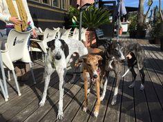 Bandido-XL Jack-L & Eva-S www.katefriends.com Greyhounds adoption