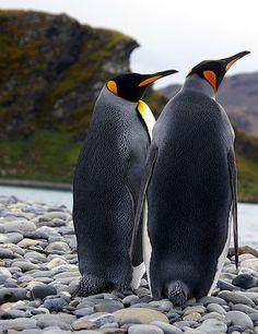 King Penguins at Grytviken, South Georgia King Penguin, Penguin Love, Emperor Penguin, Cute Penguins, Animals Beautiful, Cute Animals, South Georgia Island, Doraemon Wallpapers, Antarctica