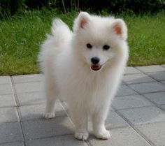 Japanese Spitz dog breed description and characteristics American Eskimo Dog, Beautiful Dogs, Animals Beautiful, Cute Animals, Cute Puppies, Cute Dogs, Dogs And Puppies, Doggies, Spitz Dog Breeds