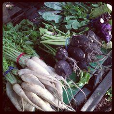 Daikon and black radish and some purple kohlrabi...