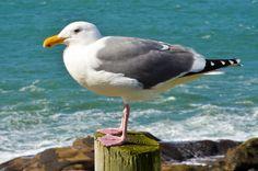 Sea Gull, Vogel, Möwe, Blau, Wild, Tierwelt, Feder