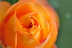 Rose  'Baby Romantica'   by myu-myu