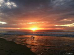 Outer Banks NC Local Artists Facebook post 6/21/15:  Luna enjoys the water at sunrise too.  Photographer credit: Groetsch.