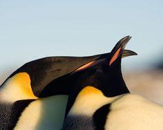 Pingüino emperador (Aptenodytes forsteri) Besos animales.