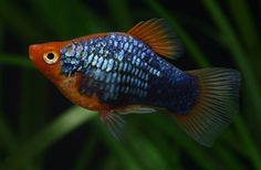 Platy | COLORS-IL