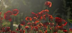 All Night Long | by Lala Lands via Flickr   Poppies in the evening light