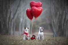 Jack Russell Terriers Valentine's Card by Heavenly Pet Photography #dogs #pet #photographer #love #teddy #cutest #photo