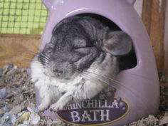 Our chinchilla, Nibbler, is blowing the fuck up all over the internet suddenly. Featured on offbeathome and reblogged many times over via tumblr.