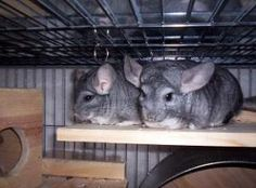 LOUISIANA Bonded Pair ~ Cheech & Josephina  are adoptable Chinchillas in Avondale.  They came to us from Houston were they were used for breeding until they stopped producing & weren't in good condition. Cheech has been neutered together. Cheech has learned to love being scritched while Josephina is slowly adapting. She'll take an oat from my hand but will need time in a loving home to trust more. She doesn't spray or bite. NOLA Chinchilla Rescue Ph 504.912.9143   nolachinrescue@gmail.com