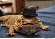 Dragons Barbus à chapeau - http://www.2tout2rien.fr/dragons-barbus-a-chapeau/