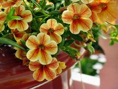 Kwiaty, Surfinia