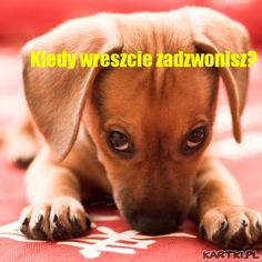 These male and female Dachshund names are the perfect match for any Doxie. Hundreds of creative and unique names for Dachshunds to choose from. Dachshund Funny, Dachshund Puppies, Weenie Dogs, Dachshund Love, Funny Dogs, Cute Puppies, Cute Dogs, Funny Animals, Cute Animals