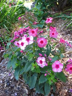 Phlox continuing to bloom...