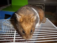 Wyeside Hamsters - Yellow Black Banded SH