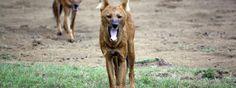 The Wild Dogs of Kabini | Vivek Dhage Photography