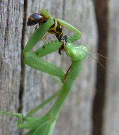 praying mantis wasp - Google Search