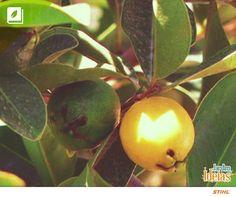 A frutinha conhecida como Araçá (Psidium cattleyanum) é deliciosa e faz parte da mesma família de outras duas frutas bastante conhecidas aqui no Brasil: A Jabuticaba e da Goiaba. Ela pode ser encontrada desde a Bahia até o Rio Grande do Sul e contém inúmeros benefícios: a fruta é rica em vitaminas A,B e C, a madeira da árvore pode ser usada na construção civil e o Araçá pode ser utilizado no reflorestamento de determinadas áreas, pois atrai a fauna a seu crescimento é rápido.