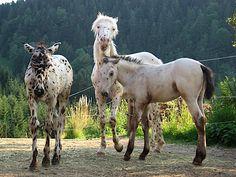 Knabstrupper foals. More about knabstrupper http://www.knabstrupper.com/?page_id=448