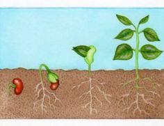 Etapes de germination du haricot