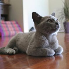 Russian Blue Blue Burmese - Unusual Cat Breeds or different kinds of cats. There so many different adjectives are used for describing these creatures, but some cats look very weird. Blue Cats, Grey Cats, Gray Kitten, Kitten Cat, Cute Kittens, Cats And Kittens, Siamese Cats, I Love Cats, Cool Cats
