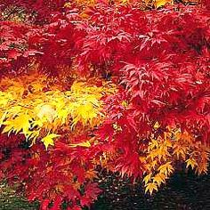 Acers, stunning tree that prefers acid soil and a sunny or partial shady location