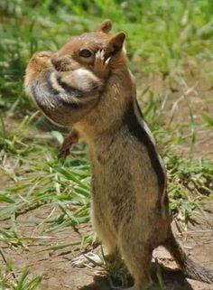 Chipmunk moving her baby.