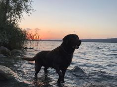 Black Lab Puppies, Cute Puppies, Cute Dogs, Black Labs, Black Labrador, Dogs Golden Retriever, Golden Retrievers, Shiloh, Dog Art