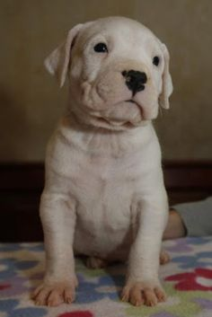 Melting my heart! White Pitbull Puppies, Cute Dogs And Puppies, Baby Puppies, Pet Dogs, Love My Dog, Argentinian Dog, Dogo Argentino Dog, Bully Dog, Puppy Care