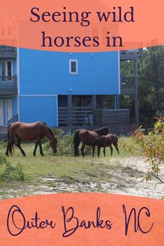 The Outer Banks horses are well known for first time visitors. Here's what we saw and what to be prepared for. #NorthCarolina #OuterBanks #OBX