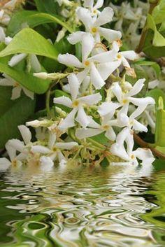 ❥ Jasmine Elegance Perfume