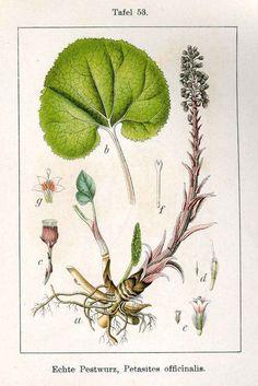 Devetsil lékařský (Petasites hybridus)