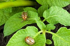 Adult Colorado potato beetles are oval with hard convex yellowish-white wing covers marked with lengthwise black stripes. Adults are about ⅓ inch long. Lar