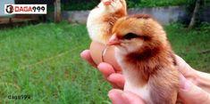 #kỹ_thuật_nuôi_gà_nhốt_chuồng Kỹ thuật chăn nuôi gà con tốt không chỉ giúp tỷ lệ sống sót tăng cao mà còn giúp người chăn nuôi kiếm được khoản lợi nhuận kếch xù. Chính vì vậy, quy trình nuôi gà cần bài bản và khoa học kết hợp với kinh nghiệm bản thân để đạt hiệu quả tốt nhất. Cùng tìm hiểu một số kỹ thuật chăn nuôi dưới đây để bổ sung thêm kinh nghiệm cho bản thân nhé! Animals, Animales, Animaux, Animal Memes, Animal, Animais, Dieren