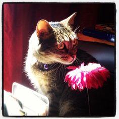 """Rowsis r red, violits r blu. Daysis r nomnomnom…"" #SimonAndStellaCats #Stella #Simon #cats #cat #kitty #kitties #kitteh #kittehs #gato #gatos #monkeybuns #furpig #neko #catsofinstagram #TeamCatMojo #..."