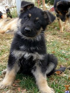 German shepard puppy that looks like a mini version of our Flower
