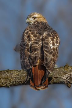 Red tailed hawk by Philip Dunn** All Birds, Birds Of Prey, Love Birds, Beautiful Birds, Largest Bird Of Prey, Red Tailed Hawk, Buzzard, Raptors, Science And Nature