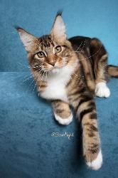 """Show Cats - Averill Maine Coon Cats - He is a brown classic tabby and white. He is named after a catcher on the Oakland A's baseball team. We will call him """"Kid Vogt""""  In these photos he is only 4 months old."""