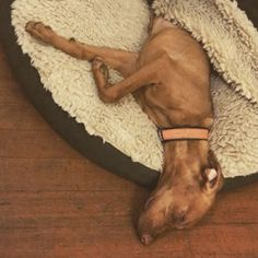 dreaming about a fun weekend ahead • • • • • • #sweetdreams #snoozin #dreamingoftheweekend #tgif #friyay #weekend #weekendvibes #runfromthemonsters #nightmare #dog #dogstagram #puppy #puppygram #paloalto #california #vizsla #vizslagram #vizslalove #vizslapuppy #vizslasofinstagram #cute #adorable #montereylocals #pacificgrovelocals- posted by Ziggy and Bowie Meyer https://www.instagram.com/the_ladies_stardust. See more of Pacific Grove, CA at http://pacificgrovelocals.com