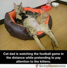 Cat dad is watching the football game in the distance while pretending to pay attention to the kittens. Description from pinterest.com. I searched for this on bing.com/images