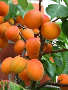 Moorpark Apricot Fruit Tree Nursery Prunus Mushroom Compost Trees Online