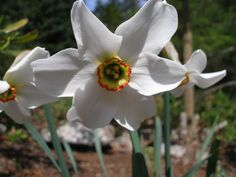 Narcissus 'Pheasant's Eye' - my favourite of the daffodils for its fragrance